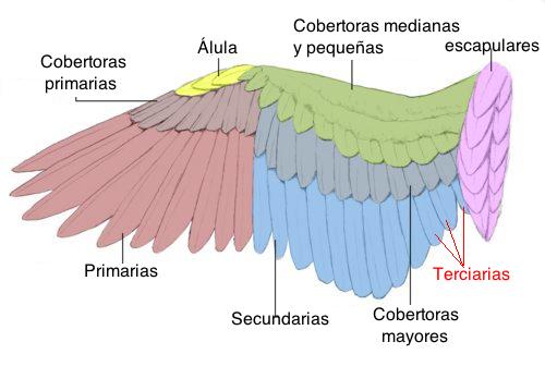 Cómo muda un pájaro? | El Diario de las Aves